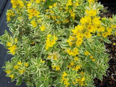 LysimachiapunctataAlexander