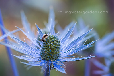 seaholly_bee