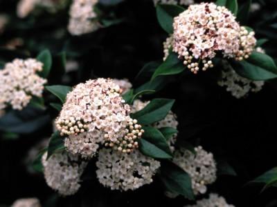 viburnum-tinus-springbouquet